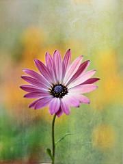 Joy! (S.A.photos) Tags: sunlight flower nature yellow spring nikon purple bokeh vivid nikkor texturedflower