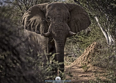 Bull Elephant (Stephen Ball Photography) Tags: africa elephant animal canon mammal safari namibia erindi ef100400mm stephenball canoneos5dmarkiii 5dmarkiii stephenballphotography canon5dmkiii5d wwwstephenballphotocom canonef100400mmf4556lisiiusm erindigamelodge