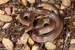 Yellow-naped snake (Furina barnardi) (Stephen Zozaya) Tags: townsville elapidae pallarenda furina furinabarnardi