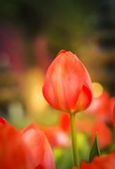 Orange Tulip (elenaleong) Tags: singapore tulips tulipa tulipfestival gbb tulipmania marinabay orangetulip flowerdome gardensbythebay