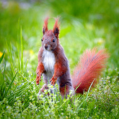 Standing in grass (hedera.baltica) Tags: squirrel redsquirrel wiewirka sciurusvulgaris eurasianredsquirrel wiewirkapospolita