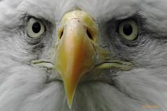 DSCN0053 american bald eagle (starc283) Tags: bird nature canon eagle wildlife birding baldeagle americanbaldeagle starc283