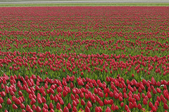 Tulpen in Lisse (Knoffelhuisie Photography.) Tags: red plant flower holland texture field rose landscape tulips bright outdoor nederland wolken flowerbed tulip tuin rood bollen tulipe tulpe roze rode tulipaner tulp tulipes  lisse tulipfields  lale rooi bloembollen              tojiniso