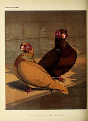 n285_w1150 (BioDivLibrary) Tags: pigeons fieldmuseumofnaturalhistorylibrary bhl:page=49799153 dc:identifier=httpbiodiversitylibraryorgpage49799153