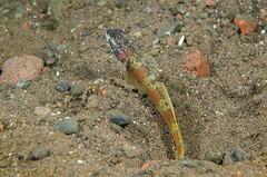 Wide barred Shrimp Goby (Simon Franicevic) Tags: bali tulamben melasti amblyeleotrislatifasciata gobywidebarredshrimpgoby