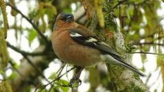 V (heinvanwersch) Tags: tree bird nature feathers finch birch avifauna