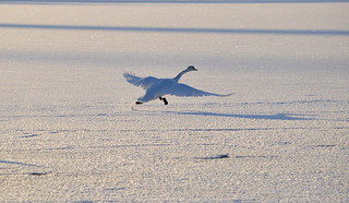 Swan takes off... -24°C. #Winter #Finland