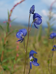AK and YT roadtrip to Dawson City, YT (greentxjumper) Tags: alaska wildflowers monkshood fireweed subarctic taylorhighway