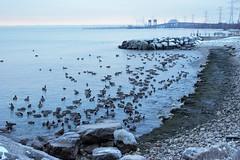 goose @ Burlington waterfront park, ON ( Kaobo) Tags: park urban ontario canada bird nature water animal burlington canon waterfront goose lakeontario t3i 600d kissx5