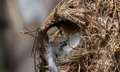 weebill (Smicrornis brevirostris)-0969 (rawshorty) Tags: birds australia canberra act rawshorty