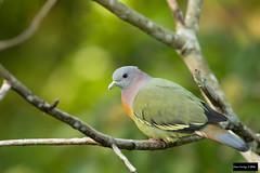 Pink-necked Green-Pigeon (Treron vernans) (Dave 2x) Tags: green singapore pigeon bukittimah treronvernans pinkneckedgreenpigeon pinknecked treron leastconcern vernans