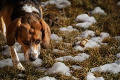 June-29JAN16-1 (Adam Fallwell) Tags: dog pet beagle animal june outside