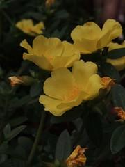 Onze horas (Barbara_Filippini) Tags: flowers plants flores yellow garden plantas flor amarelo jardim onzehoras jardinagem mdulomanual