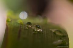 Leaf with Water Drops (Sharon Wills) Tags: plants water rain garden drops drop kangaroo raindrops drips paws kangaroopaws