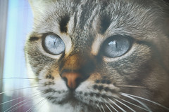 Face grey cat (borispain69) Tags: blue portrait cats pets white cute eye nature colors face animals closeup cat fur nose grey mixed eyes feline looking close with view image background tabby young domestic whisker surprise breed staring mammals curiosity striped snout muzzle workwear