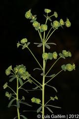 Euphorbia cf. amygdaloides L. (Luís Gaifém) Tags: flower macro planta nature natureza flor plantae euphorbiaceae fão euphorbiaamygdaloides woodspurge luísgaifém pnlitoralnorte