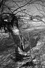 De glace et de neige/Ice and Snow (bob august) Tags: winter bw snow canada tree ice nature blackwhite nikon montral noiretblanc hiver qubec neige janvier arbre glace ahuntsic 2016 d90 montreal nikkor1735mm nikond90 parcdeliledelavisitation aperture3 rivieredesprairies 2016rpdaoust
