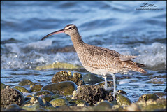 Whimbrel (lironsnaturephotography.com) Tags: wild canada bird nature birds vancouver canon bc natural pacific britishcolumbia wildlife birding delta tsawwassen pacificnorthwest birdwatching pacificcoast whimbrel naturephotography shorebirds shorebird 400mm lowermainland metrovancouver greatervancouver birdphotography numeniusphaeopus pacificflyway wildlifephotography tsawwassenferryterminal canonef400mmf56lusm shorebirdphotography shorebirding canoneos7dmarkii 7dmarkii tsawwassenferryjetty canon7dmarkii lironsnaturephotographycom