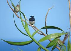 Malurus cyaneus 9 (barryaceae) Tags: nature island harbour reserve australia nsw coffs muttonbird ausbird ausbirds