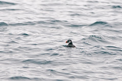 Clownbird (martytdx) Tags: birds adult lifelist nj puffin february atlanticocean pelagic alcid fratercula winterplumage atlanticpuffin fraterculaarctica alcidae pelagictrip paulagic