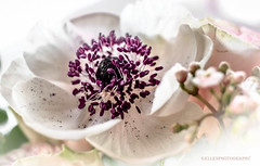 wordless (Fay2603) Tags: light white flower nature blossom rosa lila stamens violett