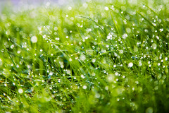 Morning Dew (Sebastian Schmidt) Tags: morning sun sunlight macro nature water grass bokeh outdoor dew waterdrops morningdew bokehballs sebastianschmidt