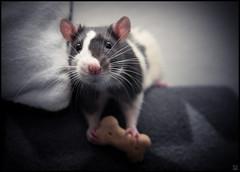 Mads (NIEN0R) Tags: rat keks biscuit ratte dogbiscuit petrat blesse blazed farbratte