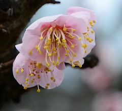 Feb. 14, 2016, Plum blossoms in Osaka Castle Park, Japan (yhshangkuan) Tags: japan blossoms plum osaka plumblossoms 2016 skbest022016osaka