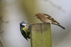 Get off of my Post! (gloverdave33) Tags: bird bluetit chaffinch carrmill