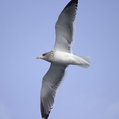 Seagull from Bottom Viewpoint (Johnnie Shene Photography(Thanks, 1Million+ Views)) Tags: winter wild people motion colour macro bird nature animal canon square lens photography eos rebel spread living daylight fly flying interesting wings focus kiss day view natural image zoom outdoor no wildlife seagull gull bottom birding flight sigma korea apo full frame theme modified midair limbs gliding awe 70300mm length viewpoint tranquil adjustment freshness dg lari foreground 456 t3i x5 70300 organism laridae yeosu  fragility 600d f456