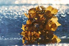 Celebration (charhedman) Tags: blue light flower macro water puddle concrete gold bokeh hydrangea