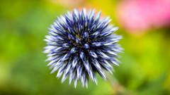 Fleur d'Azurite, l'Oursin Bleu. [Explore] (Alexandre LAVIGNE) Tags: france nature fleur bokeh couleurs picardie azurite oursinbleu pentaxk20d louisengival