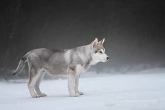 Manfred (Martyna Og) Tags: dog snow puppy wolf poland malamute wilddog alaskandog sweetpuppy inthefog dogwolf 3winter