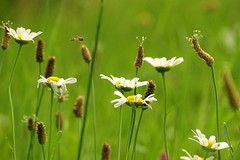 summer on the meadow (JoannaRB2009) Tags: flowers summer green nature closeup meadow poland polska