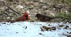 Female Eastern Towhee_N9231 (Henryr10) Tags: bird avian towhee littlemiamiriver easterntowhee pipiloerythrophthalmus pipilo erythrophthalmus cincinnatiparkboard magrishriverlandspreserve nationalsceniclittlemiamiriver