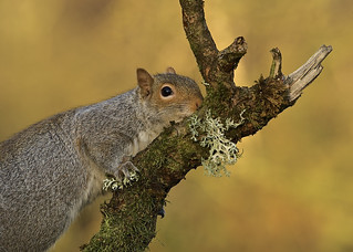 Grey Squirrel DSC_6536
