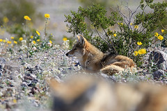 Coyote, Death Valley (6) (Bob Palin) Tags: usa california deathvalley coyote outdoor animal nationalpark orig:file=2016012804752 instantfave nature wildlife club100 desert 15fav 100vistas autoremovedfrom1to5faves 510fav 100v10f 1025fav