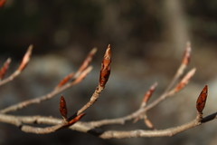 bourgeons (bulbocode909) Tags: nature branches hiver arbres bourgeons veil