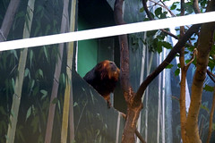 20130304 National Zoological Park, Washington DC 088 (yaoifest) Tags: zoo tamarin goldenheadedliontamarin