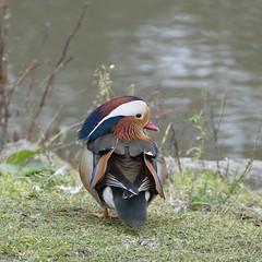 canard mandarin (peltier patrick) Tags: river berry hiver rivire oiseau couleur canard oiseaux rive canardmandarin riviremarmande