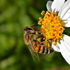 Honey Bee (Apis mellifera) Collecting Pollen (bob in swamp) Tags: macro nikon florida bees coolpix wildflower honeybee palmbeachgardens palmbeachcounty pollination pollinator apismellifera apidae spanishneedle bidensalba taxonomy:family=apidae taxonomy:binomial=apismellifera frenchmansforestnaturalarea
