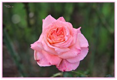 Valentine's 2016 (MEA Images) Tags: flowers roses nature gardens canon washington flora tacoma blooms rosegarden pointdefiancepark picmonkey