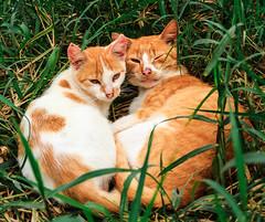 amor  tudo o que voc precisa (Luciana Wagner) Tags: orange cats green gatos grama gato meow hillbilly lovestory cutecats lovecats catcouple catlove catlovers catslife farmcats countrycats catloving ahillbillylovestory