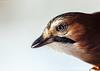 Eichelhäher (Garrulus glandarius) (ulibrox) Tags: bird closeup tiere jay vögel nahaufnahme tier vogel garrulusglandarius rabenvogel eichelhäher singvogel rabenvögel