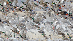 A Whole Bunch of Ducks! (Steve Gifford - IN) Tags: black nature river photo duck teal wildlife steve picture ducks indiana national photograph bottoms mallard steven waterfowl northern society coot refuge audubon gifford wigeon ias pintail gadwall haubstadt patoka oatsville