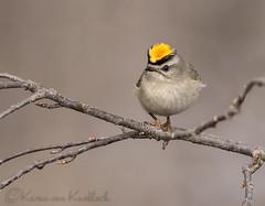 Golden Crowned Kinglet (KvonK) Tags: winter bird nature handheld february goldencrownedkinglet kinglet 2016 hoodup 1320sec iso4000 kvonk 500mm12xincameracrop nikkorafs200to500mmf56