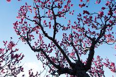 Ume blossoms (nak.viognier) Tags: osaka umeblossoms ryokuchipark sonydscrx100m3