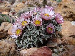 Townsendia spathulata DSC08190 (sierrarainshadow) Tags: spathulata townsendia