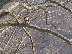 BALD EAGLES EAT CHICKEN 2 OF 13 (nsxbirder) Tags: baldeagle indiana haliaeetusleucocephalus brookville whitewaterriver franklincounty leveeroad