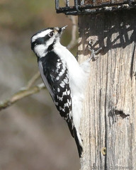 Downy Woodpecker (jaybirding) Tags: bird me animal us downywoodpecker outdoor maine brunswick rossmore stormer leicavlux114